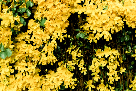 Close up of beautiful yellow flower Cats Claw Creeper plants full bloom