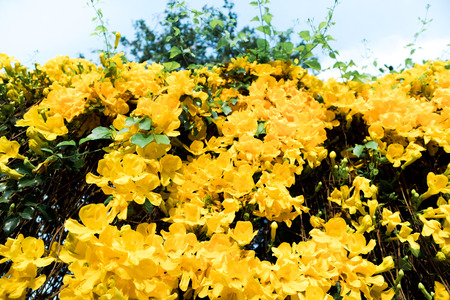 Look-up shot of beautiful yellow flowers Cats Claw Creeper plants with sky background