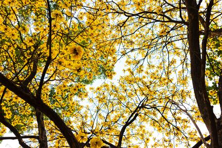Yellow flower Tabebuia chrysantha tree look up sky background