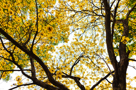 Yellow Tabebuia chrysantha tree look up sky background