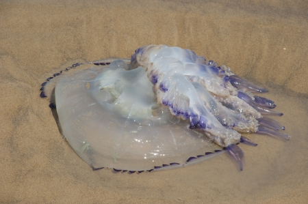 Upside down jellyfish on the beach of the Adriatic Sea Stock Photo - 19054423
