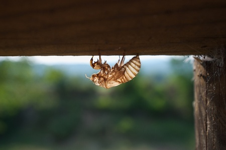 curiousness: strange flying insect dead and transparent