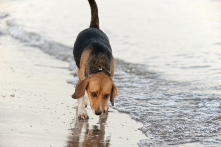 nosey: dog walking alone on the beach