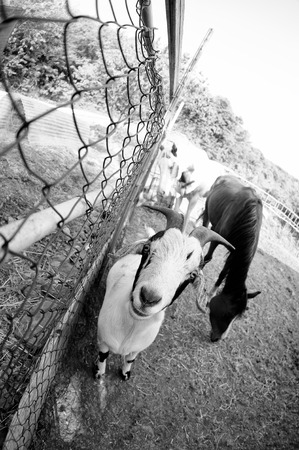 s horn: friendly and curious goat in a farm