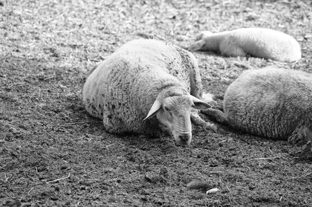 s horn: sheeps lying down in the mud Stock Photo