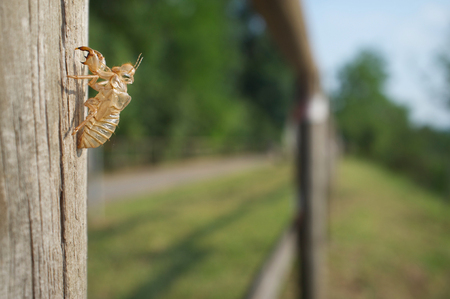curiousness: Cicada shell on the wood fence Stock Photo