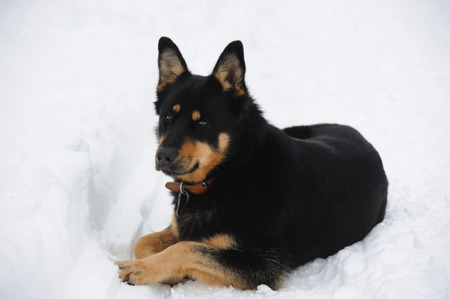 sheepdog resting lying in the snow