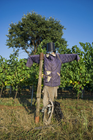 ugly scarecrow with a jacket and a bucket on his head defending a vineyard