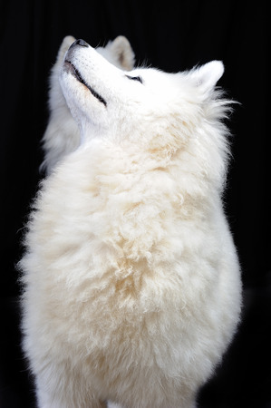 two Samoyed dog in a black background; the Samoyed is a breed of large herding dog, from the spitz group, with a thick, white, double-layer coat. 版權商用圖片