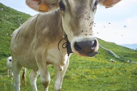 cows graze in a field, with flies on the snout