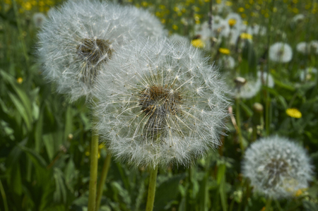 White transparent dandelion on the field