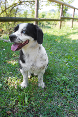 black and white puppy dog with a blue and brown eyes sitting on the grass