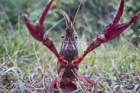 red swamp crawfish (Procambarus clarkii) poised for attack in the street