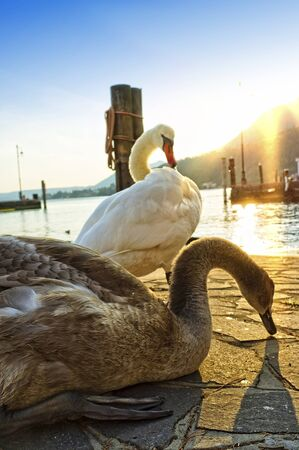 close up of a two swan at sunset light 版權商用圖片