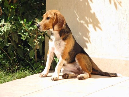 Beagle puppy dog dries in the sun after bath