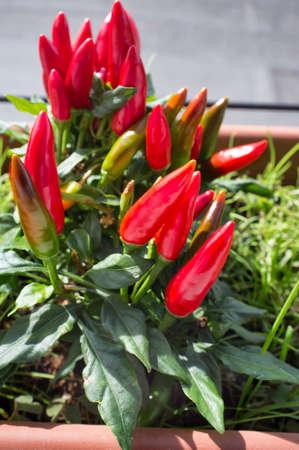 potted chili pepper plant on the balcony 版權商用圖片