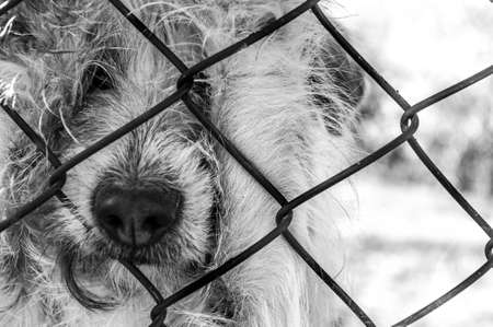 sad dog watching people go from behind a fence 版權商用圖片