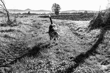 Old beagle dog walking towards camera on a path 版權商用圖片