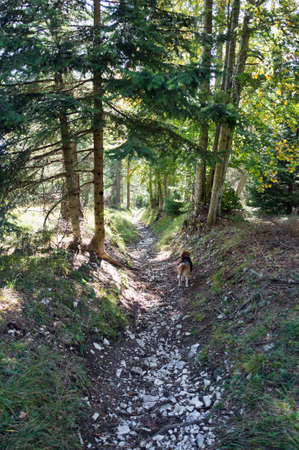 hiking trail in the Italian mountain forest with a beagle dog