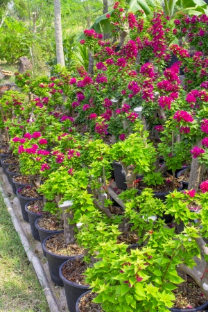 bougainvillea blooming in pot it beautiful for the ornamental Stock Photo - 20227341