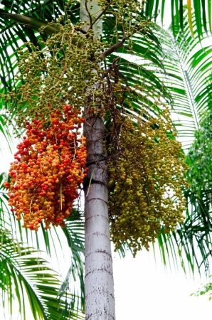 ripe betel palm and raw in the bunch photo