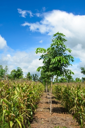 Feed Corn in the field  and rubber plantation in Thailand  photo