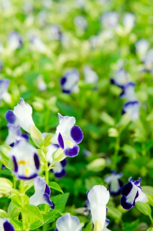 Wishbone flower, Bluewings, Torenia,Torenia fournieri Lindl. ex Fourn. photo