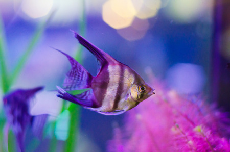pterophyllum scalare fish in aquarium photo
