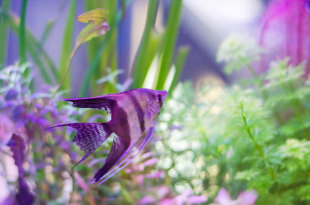 scalare: pterophyllum scalare fish in aquarium