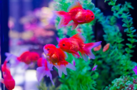 Goldfish in aquarium with green plants photo