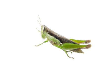 Grasshopper on isolated white background photo