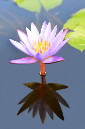pink waterlily against reflection on water, lotus flower photo