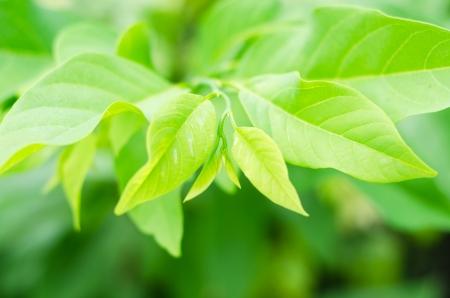chirimoya: hojas de chirimoya en la granja, Tailandia Foto de archivo
