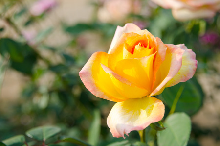 rose flower blooming in the garden photo