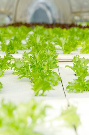 lactuca: Closeup of lettuce in farm land, Lactuca sativa