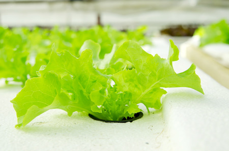 lactuca sativa: Closeup of lettuce in farm land, Lactuca sativa