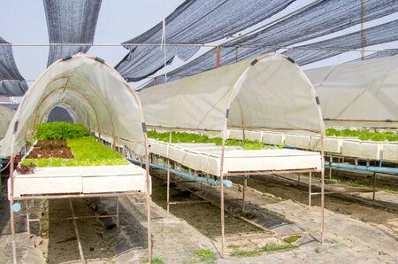 lactuca sativa: Lettuce in farm land, Lactuca sativa