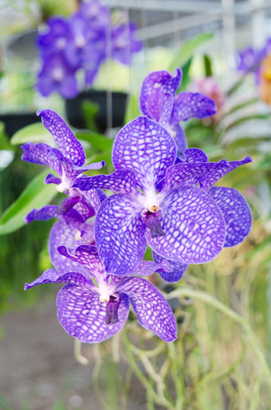 Bouquet of purple vanda orchids photo