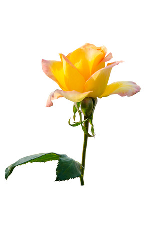 Yellow rose flower blooming on isolated white background photo
