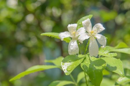 jessamine: Cosmetic Bark Tree, Satin-wood, Orange Jessamine with rain drop
