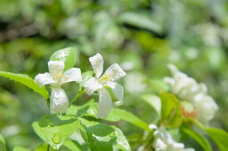 jessamine: Cosmetici Corteccia di albero, Raso-legno, arancione Jessamine con una goccia di pioggia