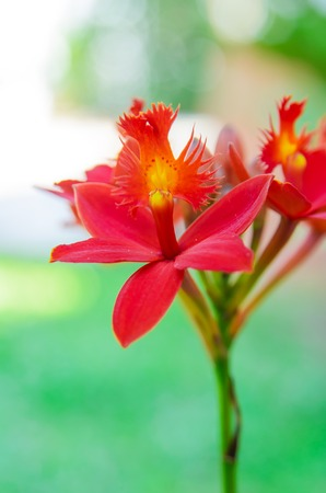 Red ground orchid flower blooming in the garden photo