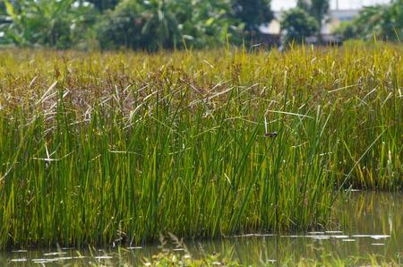 Reed field in swamp, typha angustifolia papyrus dense in wetland photo
