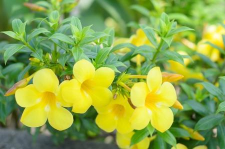 Beautiful yellow flower golden trumpet vine yellow bell allamanda beautiful yellow flower golden trumpet vine yellow bell allamanda cathartica stock photo mightylinksfo