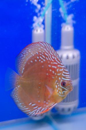 buntbarsch: Flowerhorn Cichliden im Aquarium