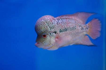 cichlid: Flowerhorn Cichlid fish in the aquarium Stock Photo