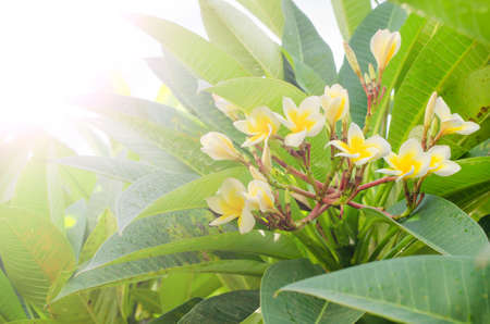 Frangipani white flower blooming with soft light in the morning, Plumeria blooming, Templetree. photo