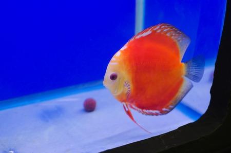 Flowerhorn Cichlid fish in the aquarium photo