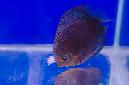 Flowerhorn Cichlid fish in the aquarium photo