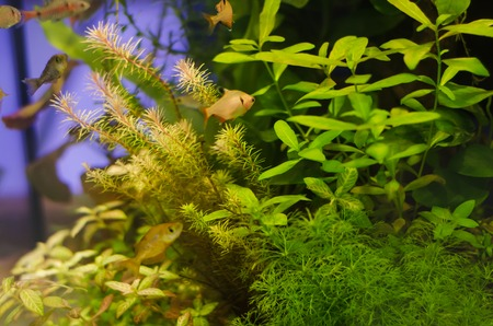 echinodorus: Planted aquarium with fish, tropical plant underwater for decoration